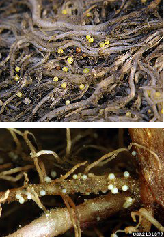 Cysts of golden nematode (above; ARS), and pale cyst nematode (below; Bonsak Hammeraas, Norwegian In-stitute for Agricultural and Environmental Research)