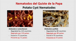 Potato Cyst Nematode Eradication and Containment in the U.S. / Nematodo Quiste de Papa Erradicación y Contención de Nematodos en los Estados Unidos: Éxitos y Luchas.
