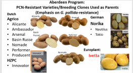 Use of Molecular Markers for Breeding PCN Resistance in the Russet Market Class
