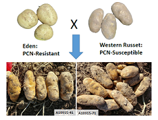 Breeding and development of Globodera-resistant potato varieties with long tuber shape and russet skin for production in the western U.S.